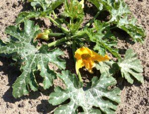 Kwekerij Zuidbos courgettebloem